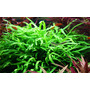 Microsorum pteropus Trident TROPICA (koszyk)