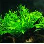 Microsorum pteropus Windelov (crisped leaves) - SONGROW (koszyk)