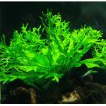 Microsorum pteropus Windelov - PLANTACJA (koszyk)