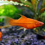 Mieczyk czerwony - Xiphophorus hellerii