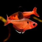 Minor (bystrzyk barwny) - Hyphesobrycon calistus