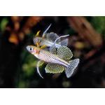 Modrook Gertrudy - Pseudomugil gertrudae
