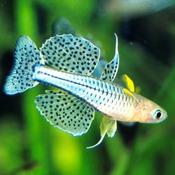 Modrook Gertrudy - Pseudomugil gertrudae (1 szt)