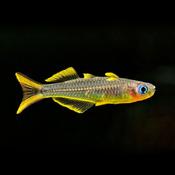 Modrook słoneczny - Pseudomugil furcatus
