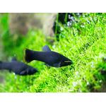 Molinezja czarna (1 szt) - na błonę na powierzchni wody