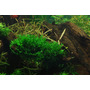 Monosolenium tenerum (Pelia) na lawie - TROPICA