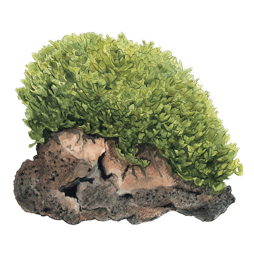 Monosolenium tenerum (Pelia) - (in-vitro) puszka 7cm TROPICA