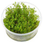 Myriophyllum aquaticum (in-vitro) puszka 10cm XXL
