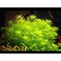 Myriophyllum aquaticum - in-vitro Aqua-Art