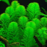 Myriophyllum aquaticum - RA koszyk duży XXL