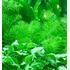 Myriophyllum Guyana (in-vitro) puszka 7cm TROPICA