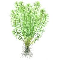 Myriophyllum Guyana - in-vitro Aqua-Art