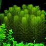 Myriophyllum hippuroides - RATAJ (koszyk)