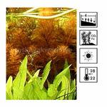 Myriophyllum mattogrosense - RATAJ (koszyk)