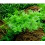Myriophyllum mattogrossense - in-vitro Aqua-Art