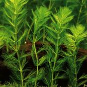 Myriophyllum spicatum - RA koszyk duży XXL