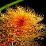 Myriophyllum tuberculatum (in-vitro) puszka 10cm XXL