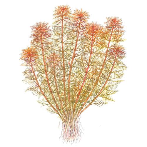 Myriophyllum tuberculatum - TROPICA (koszyk)