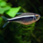 Neon czarny - Hyphessobrycon herbertaxelrodi (1 szt) - odbiór osobisty