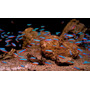 Neon czerwony - Paracheirodon axelrodi (1 szt) - odbiór osobisty