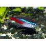 Neon Innesa - Paracheirodon innesi (1 szt)