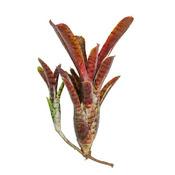 Neoregelia Adonis - roślina do akwapaludarium