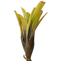 Neoregelia Amandae - roślina do akwapaludarium