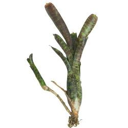 Neoregelia Amapullacea var. Purpurea - roślina do akwapaludarium