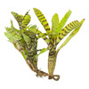 Neoregelia Amapullacea var. tigrina - roślina do akwapaludarium