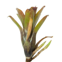 Neoregelia Chiquita Linda - roślina do akwapaludarium