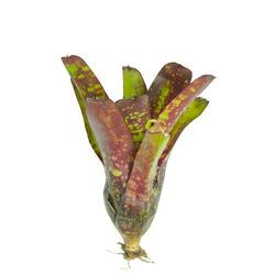 Neoregelia Green Eyes small - roślina do akwapaludarium