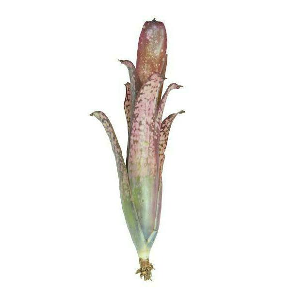 Neoregelia Hallelujah - roślina do akwapaludarium
