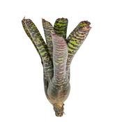 Neoregelia Hanibal Lecter - roślina do akwapaludarium