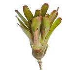 Neoregelia Jill - roślina do akwapaludarium