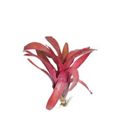 Neoregelia Sunrise medium - roślina do akwapaludarium