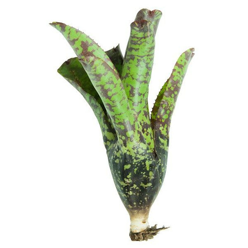 Neoregelia Tequila - roślina do akwapaludarium