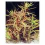 Nesaea crassicaulis - RATAJ (koszyk)