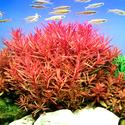 Nesaea crassicaulis TROPICA (koszyk)