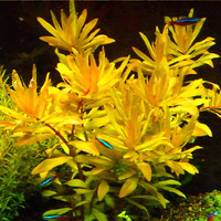 Nesaea gold - in-vitro Aqua-Art