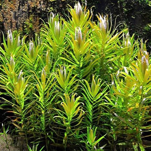 Nesaea pedicellata - RATAJ (koszyk)