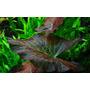 Nymphaea lotus - RATAJ (koszyk/bulwa) - lotos czerwony