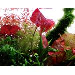 Nymphaea lotus - TROPICA (koszyk)