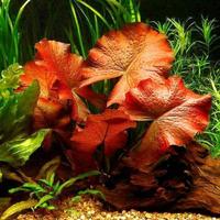 Nymphaea Tiger Lotus (Lotos Zenkeri) (bulwa)