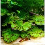Nymphaea Zenkeri Green (lotos zielony)  - RA koszyk