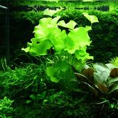 Nymphoides hydrophylla Taiwan TROPICA in-vitro (w żelu)