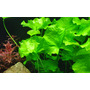 Nymphoides hydrophylla Taiwan - TROPICA in-vitro 12GROW
