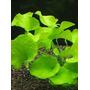 Nymphoides sp. Taiwan - Karel Rataj (koszyk)