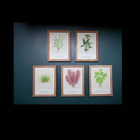 Obrazki Tropica Art Cards - Echinodorus [13x18cm] - 5 sztuk