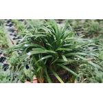 Ophiopogon kyoto - PLANTACJA (koszyk)