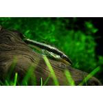 Otosek przyujściowy - Otocinclus affinis